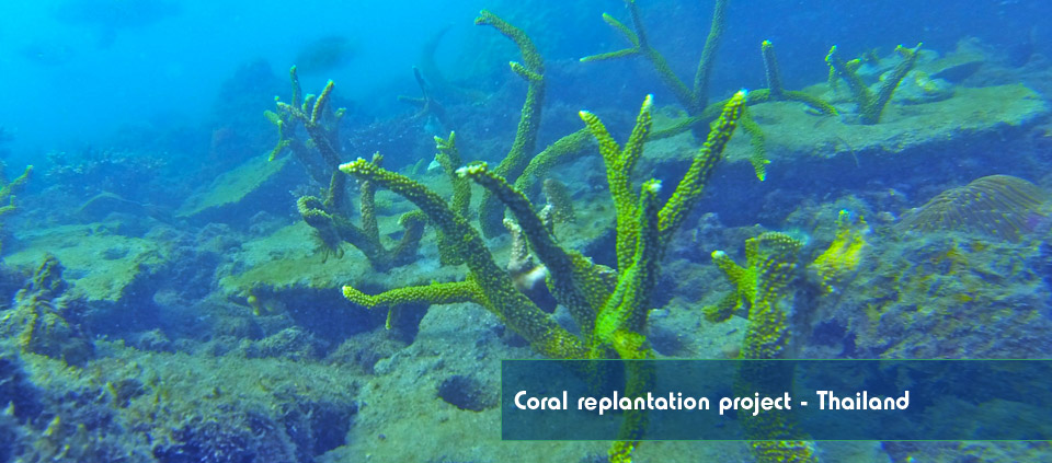 A picture of coral planted by Reefscape Australia growing on a coral reef in Thailand.